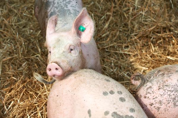 Schweineleben