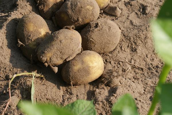 Linda: DIE Kartoffel!